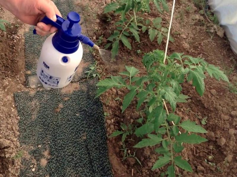 Калимагнезия - применение удобрения для подкормки томатов