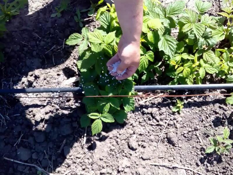 Калимагнезия - применение удобрения для подкормки малины