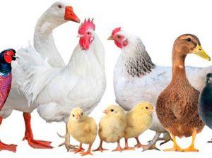 Методы селекции птиц