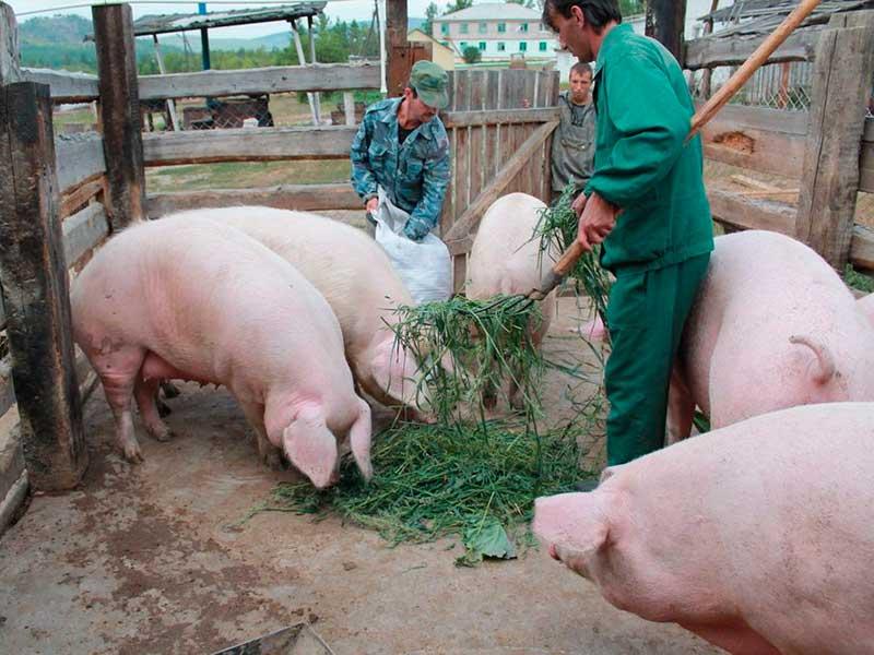 Органическое свиноводство