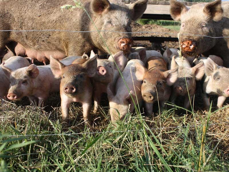 селекционно-племенное свиноводство