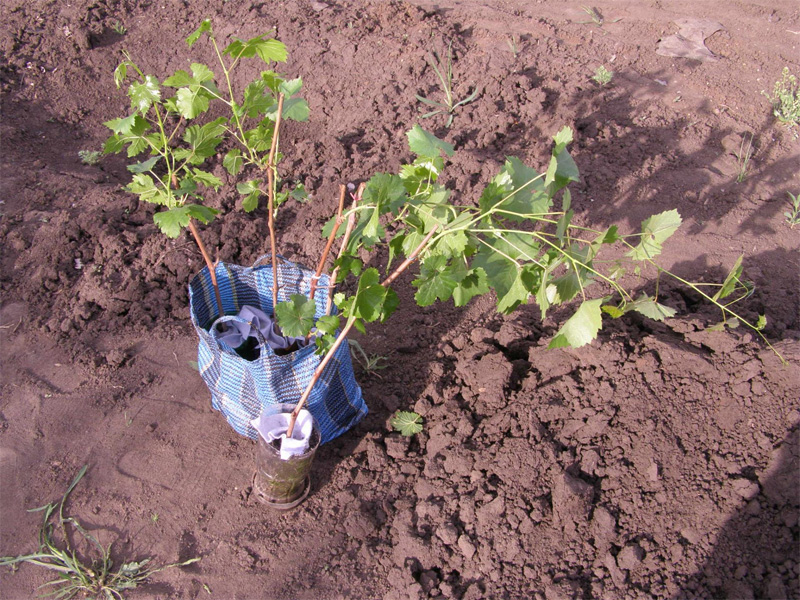 Смородина: от посадки до сбора урожая и как правильно высадить куст