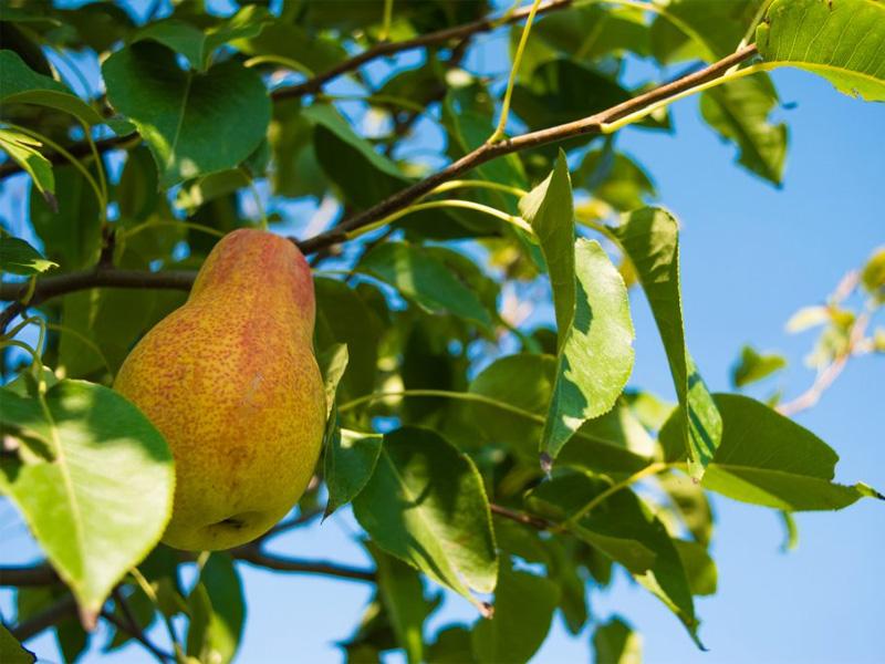 Сорт груши Аллегро и описание особенностей дерева
