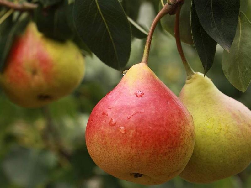 Сорт груши Аллегро и отличие от других сортов фрукта