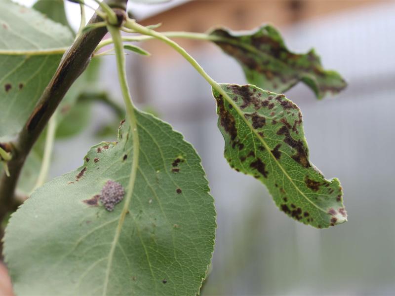 Сорт груши Аллегро, болезни и вредители дерева