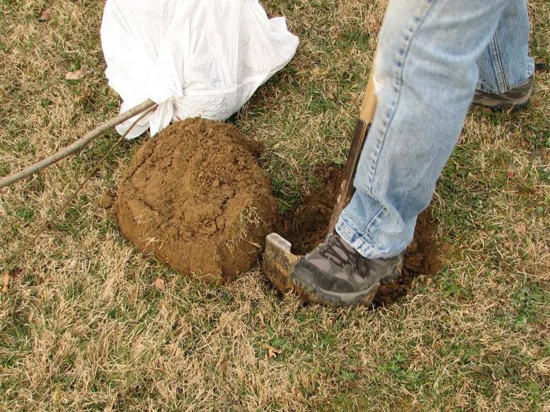 Сорт груши Аллегро и как правильно посадить дерево