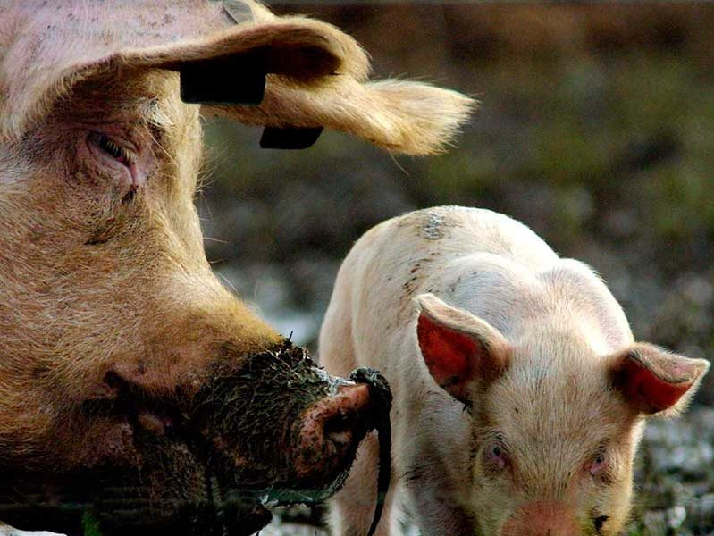 Свинья ест своих поросят