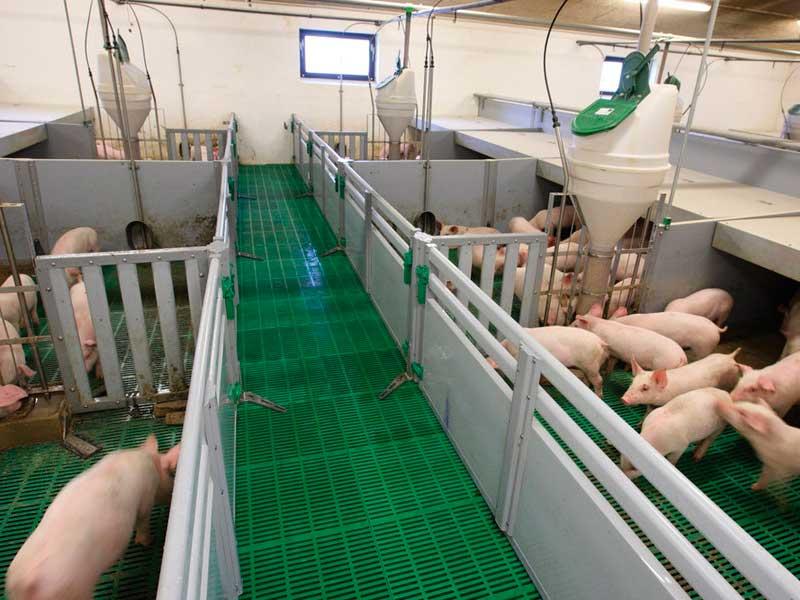 Технология промышленного свиноводства