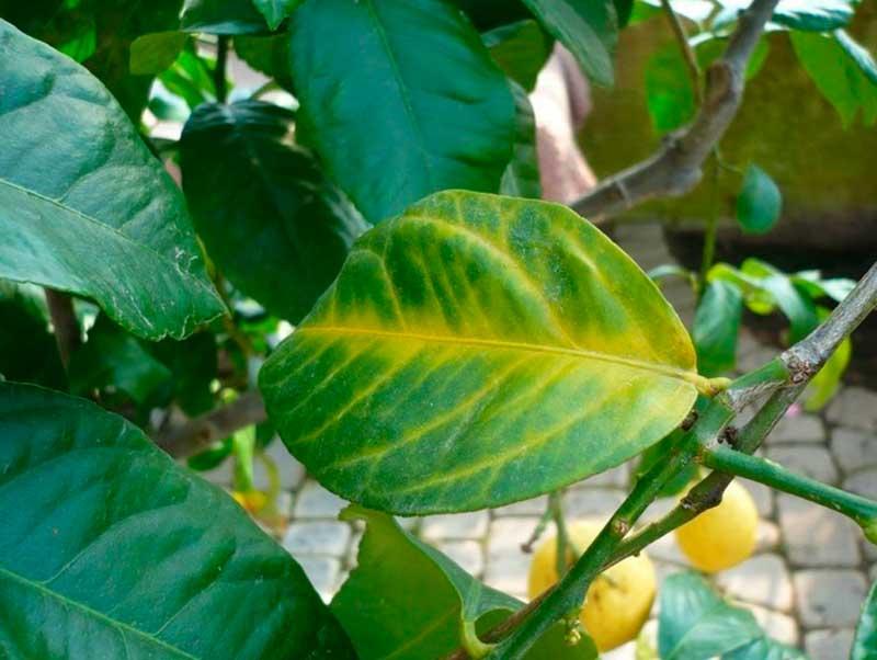у лимона проблемы с листьями