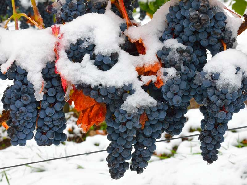 Укрываем виноград на зиму