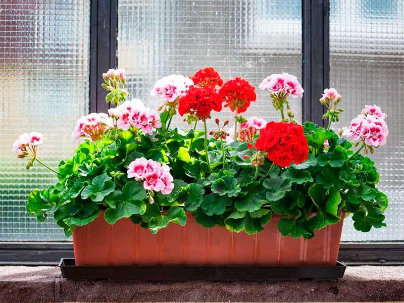 Условия для цветения герани