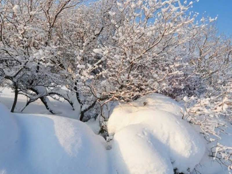 Вишня Вянок зимой