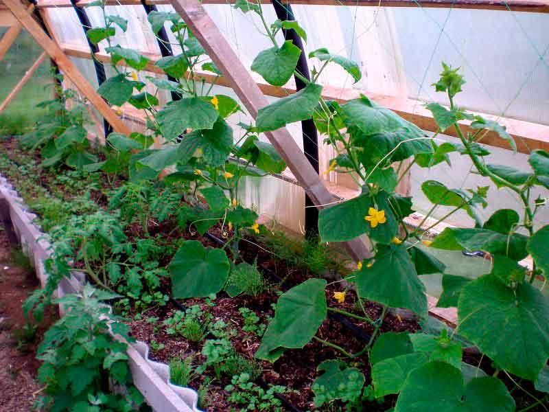 выращивания огурцов в теплице