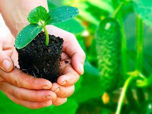 Как выращивать огурцы в теплице из поликарбоната