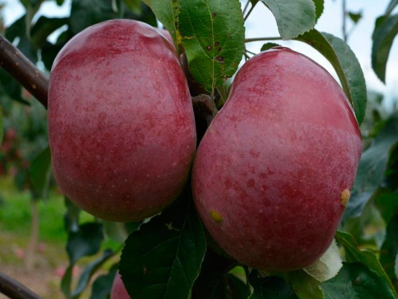 Сорт яблони Алеся: описание