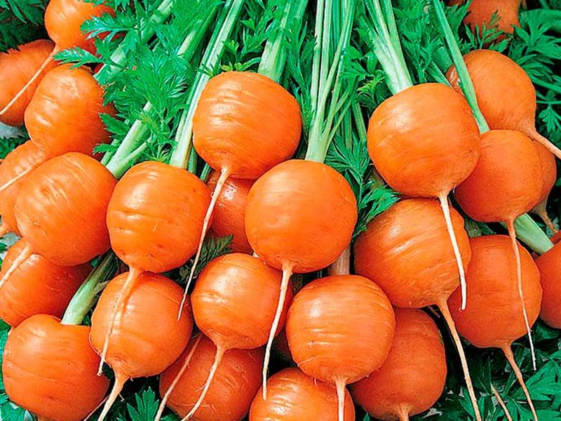 Какие сорта моркови лучшие