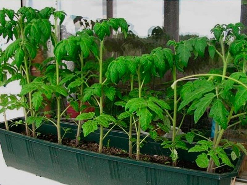 Пикировка томатов в постоянную тару