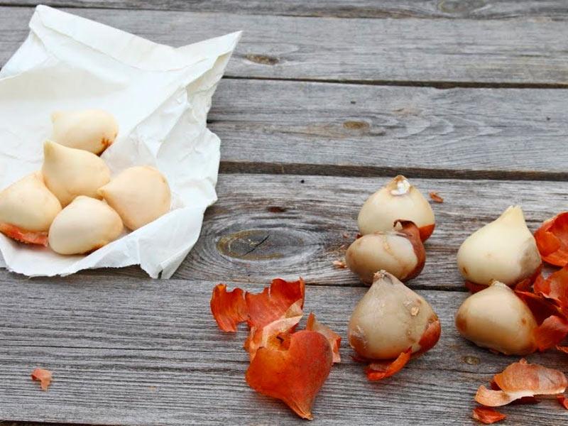 Подготовка луковиц
