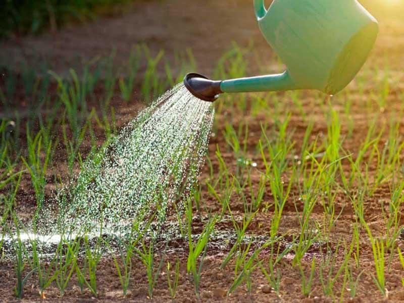 Чем лучше подкормить лук весной