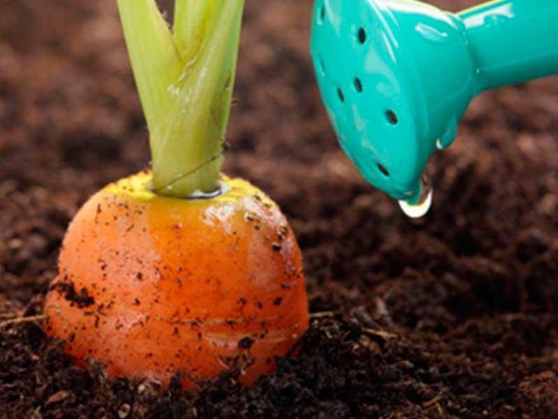 Чем подкормить морковь