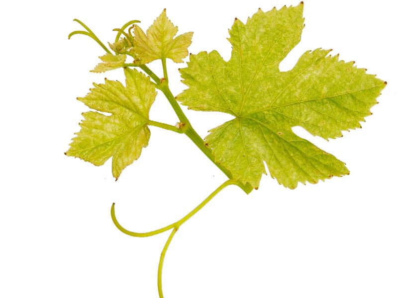 Листья винограда