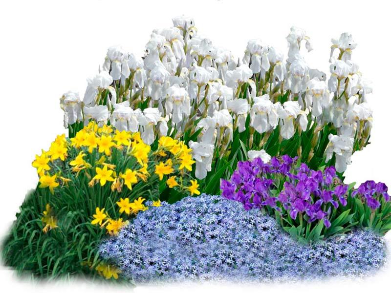 С какими цветами сочетаются ирисы