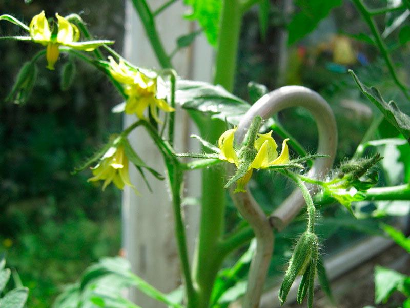 Опыление цветков томатов