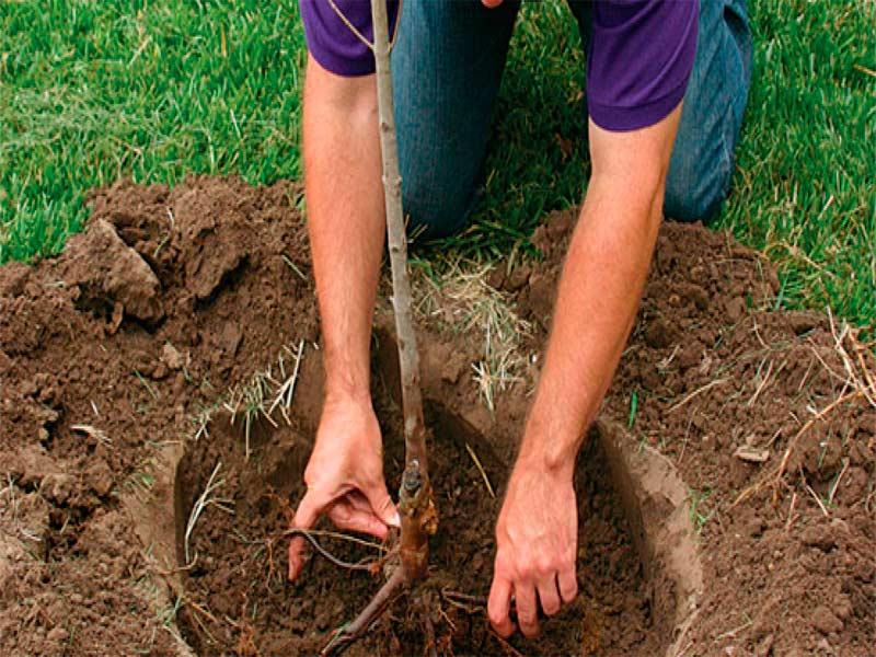 Как посадить вишню