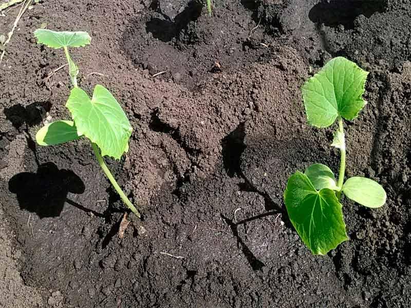 Подкормка, когда растения сформировали 2-3 настоящих листа