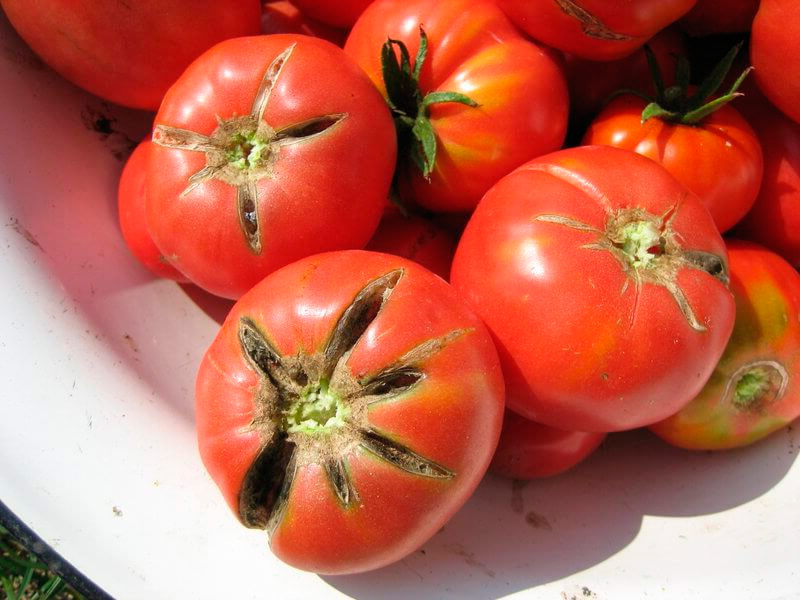Почему трескаются помидоры
