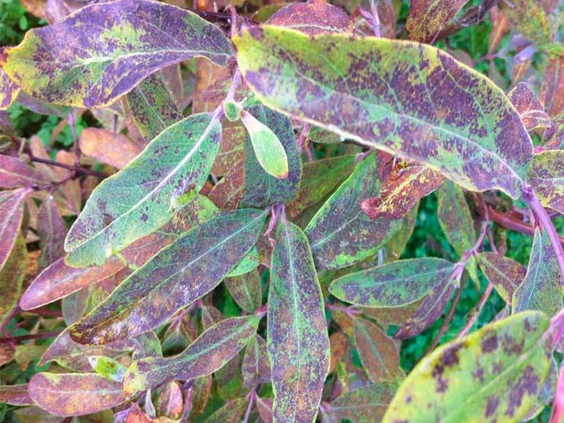 Черные пятна на листьях жимолости