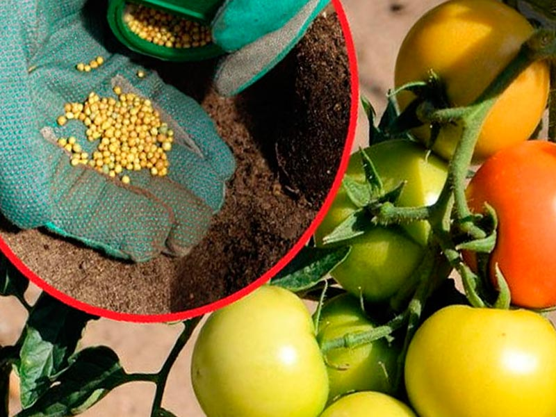 Ускоренное созревание томатов