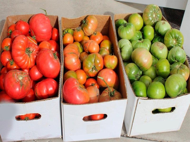 Дозреть помидоры