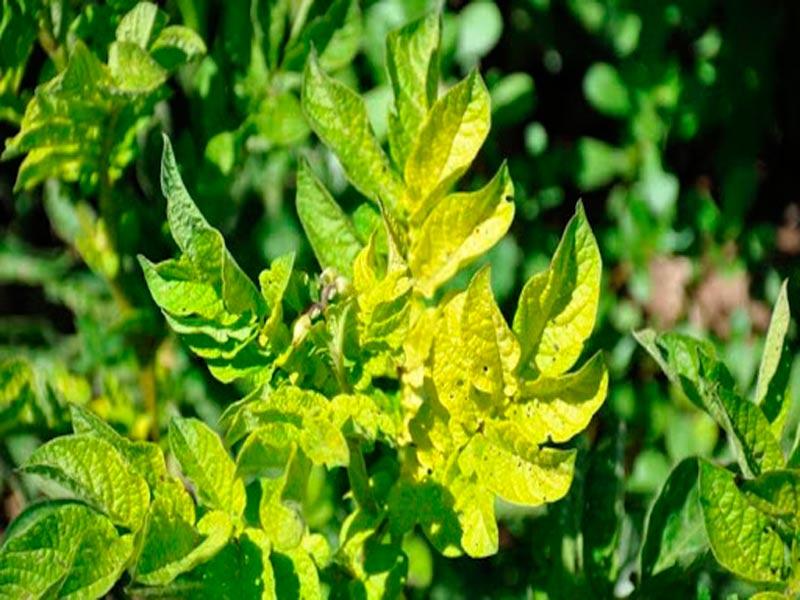 Причины пожелтения листьев у помидор