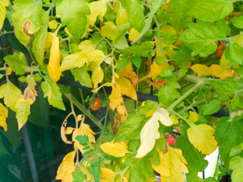 Желтые листья на томатах